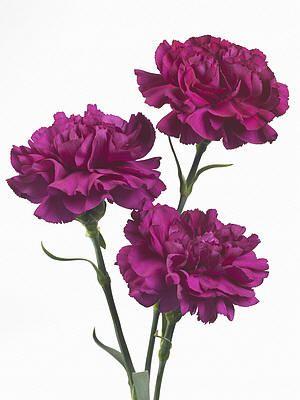 macam-macam warna ungu
